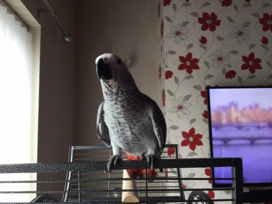 femije embel parrots afrikane gri tani gati per miratim