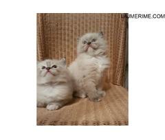Shtëpi e bukur e ngriti Kittens Ragdoll