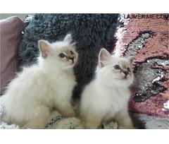 Kittens Birman për çdo shtëpi të mirë