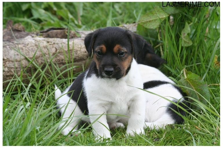Kostume Jack Russell Terrier puppies për adoptim