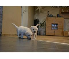 Dy pups bukur Labrador për adoptim!