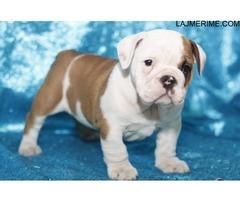 Puppies angleze Bulldog në dispozicion