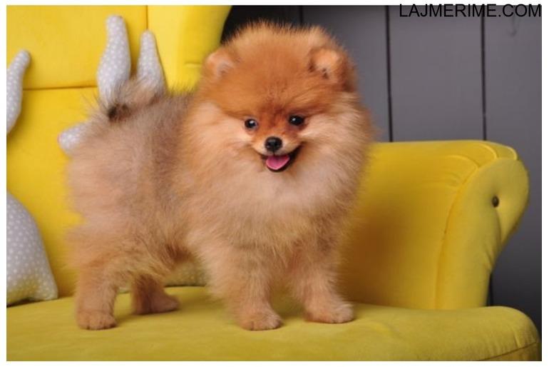 Puppers Pomeranian mirë të trajnuar