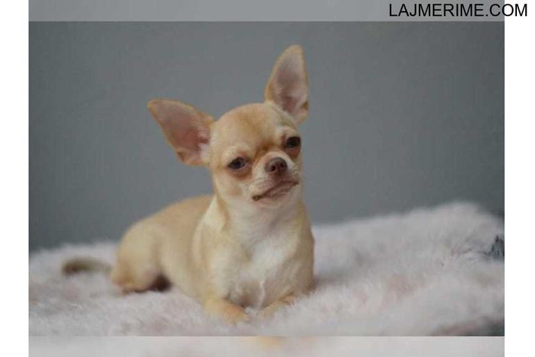 Chihuahua i mrekullueshëm mashkull dhe femër