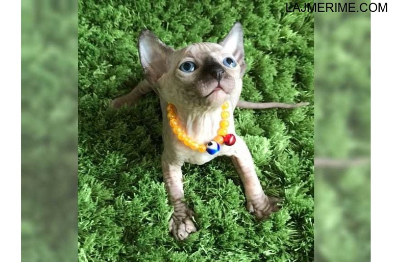 Kittens kanadeze Sphynx stuko