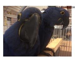 Palë blu papagalli blu