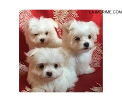 Këlyshë Cute Puppies Maltë Në dispozicion