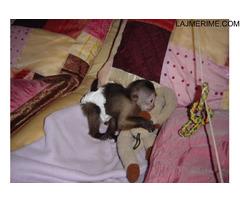 majmuni pirgmy marmoset Në dispozicion